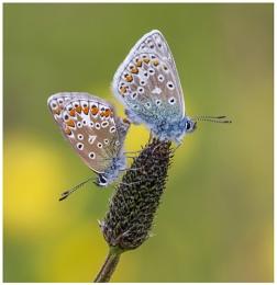 Common Blues - Polyommatus icarus.
