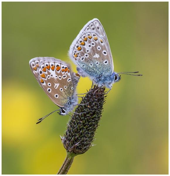 Common Blues - Polyommatus icarus. by NigelKiteley
