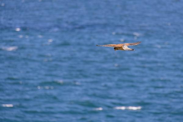 Kestrel (Falco tinnunculus) hovering over cliffs at Porthgwidden by Phil_Bird