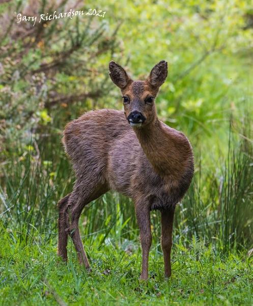 roe deer by djgaryrichardson