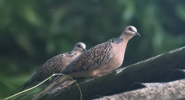 Spotted Dove by dipsekhar