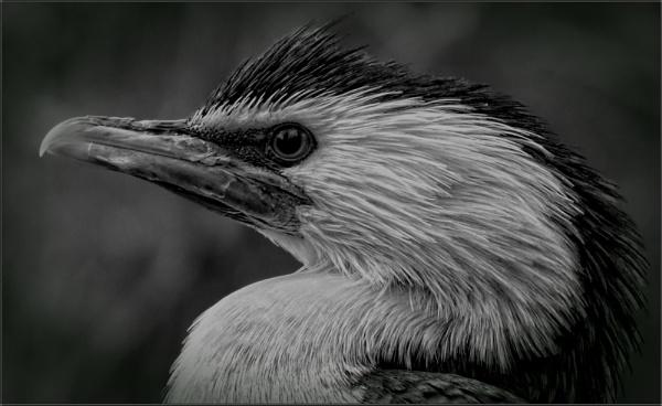 Little Pied Cormorant (2) by PhilT2