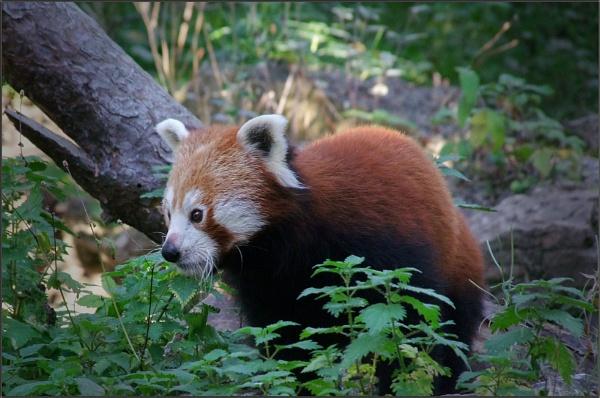 Red Panda (2) by PhilT2