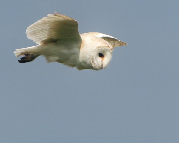 Barn Owl by Alan_Baseley