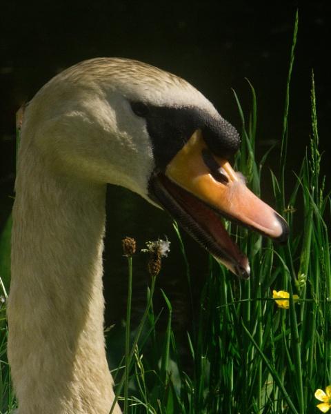 Swan by Alan_Baseley