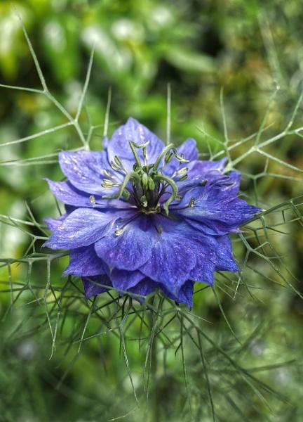 Nigella Persian jewels flower by StevenBest