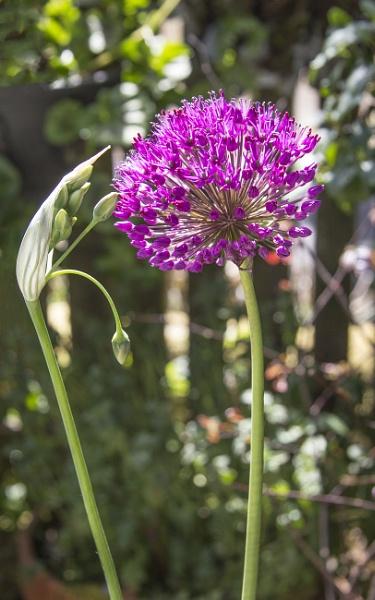 Allium by Irishkate