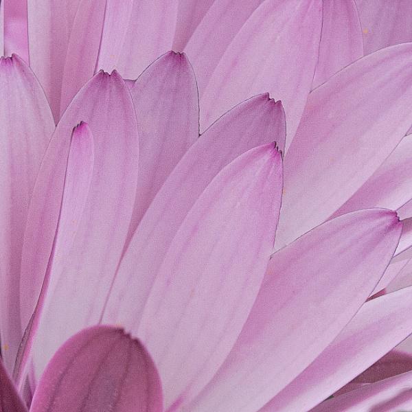 pink petals by iscaphotos21