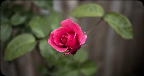 Garden Rose by Yogendra