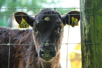 Calf Eyes