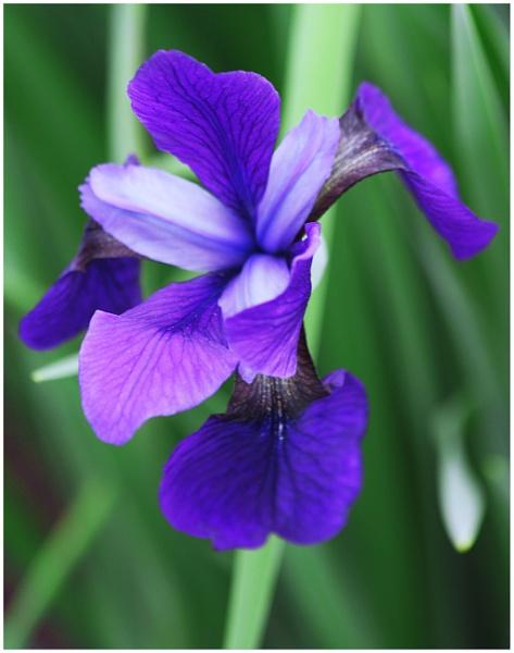 A Purple Iris (best viewed large) by gconant