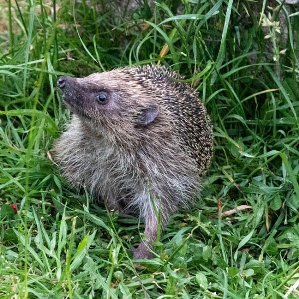 Hedgehog in the garden by gmalyo
