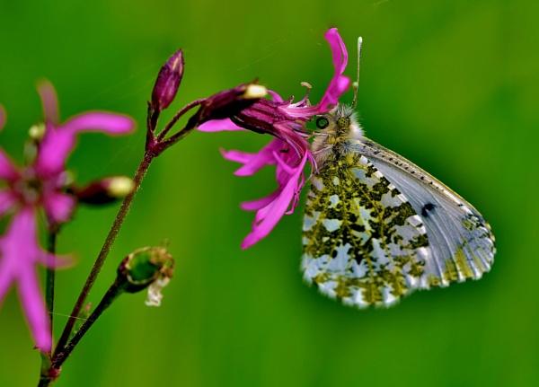 Female orange tip butterfly. by georgiepoolie