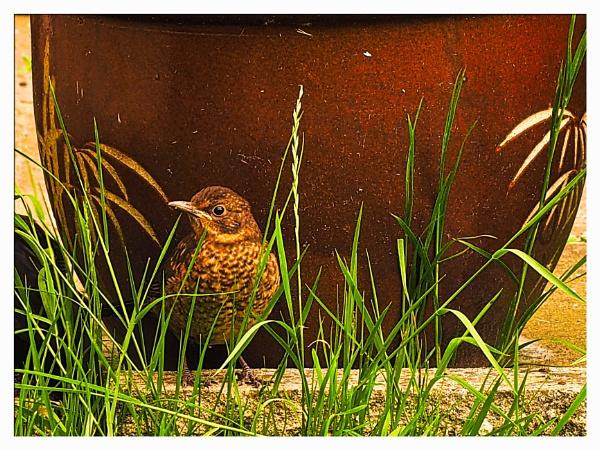 JUVENILE BLACKBIRD. by kojack