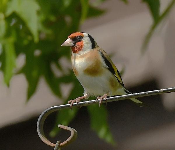 Goldfinch by nealie