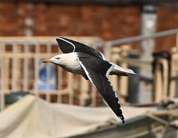 Seagull by nealie