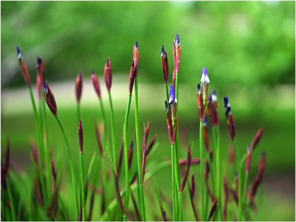 Siberian Iris by johnriley1uk