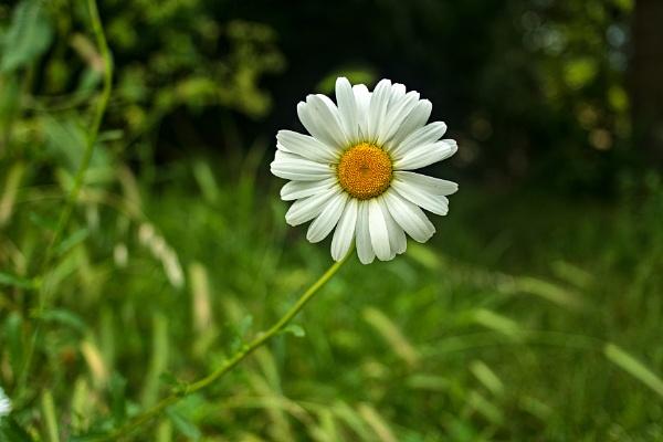Hello! I\'m daisy... by luminus