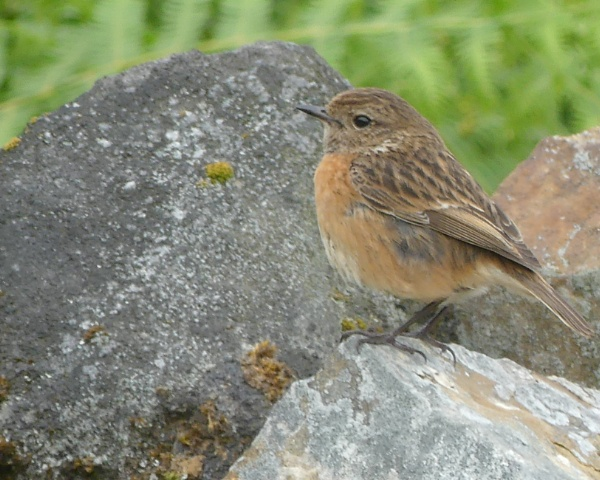 STONECHAT by Ted447