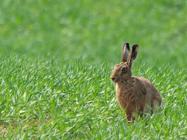 Hare by DerekHollis