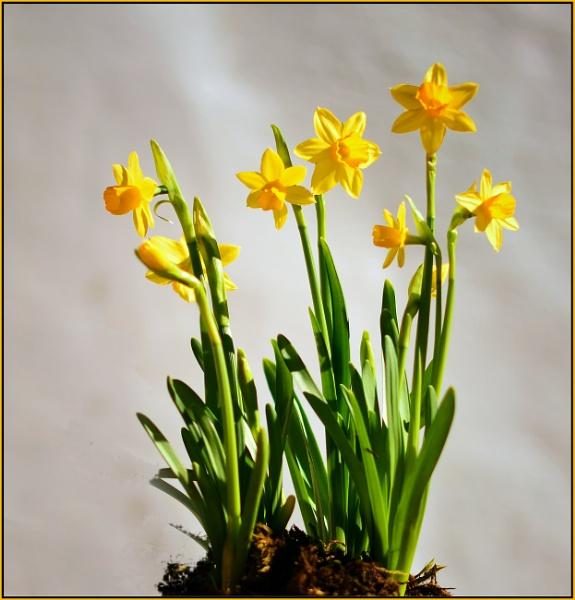 Maureen`s Daffodils by fotobee