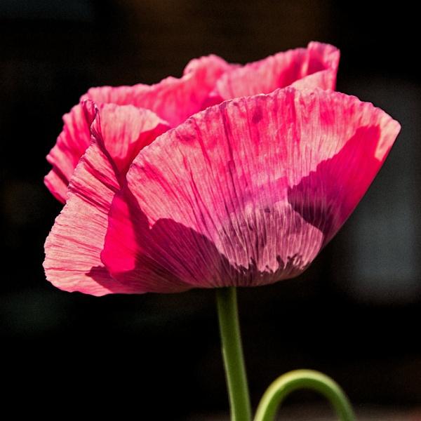 translucent poppy... by estonian
