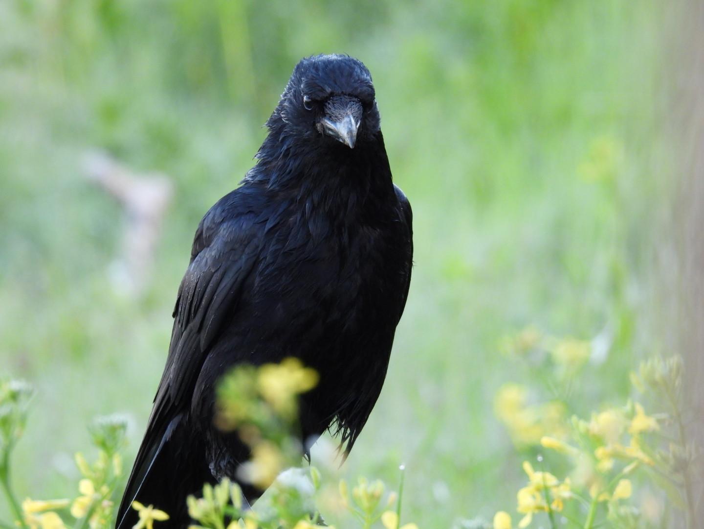 Russel crow
