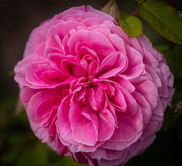Rose - Charles Remi Macintosh by RonDM