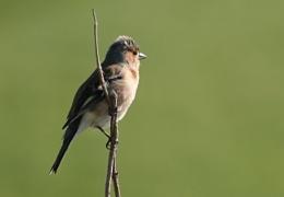 A Finch I think