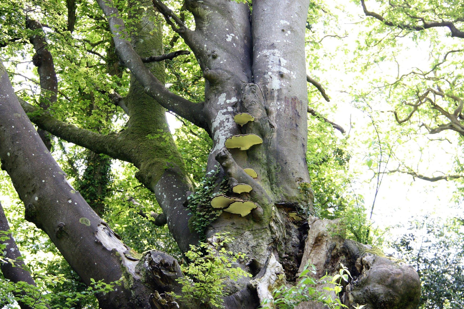 Angle Bracket Fungus