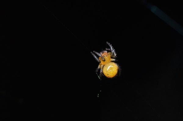 Newborn spider by pedromontes