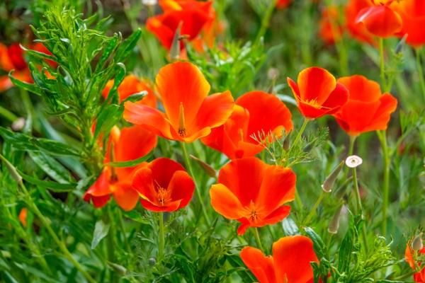 California poppy by OverthehillPhil