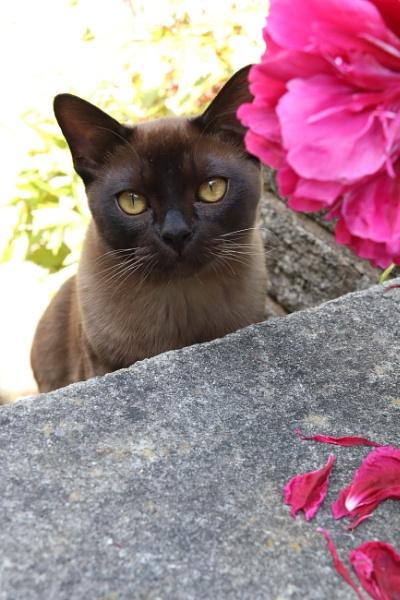 Burmese kitten by loves2travel