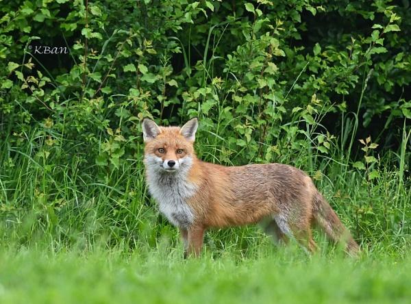 Morning Fox by KBan