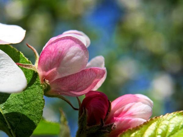 apple flower by elousteve