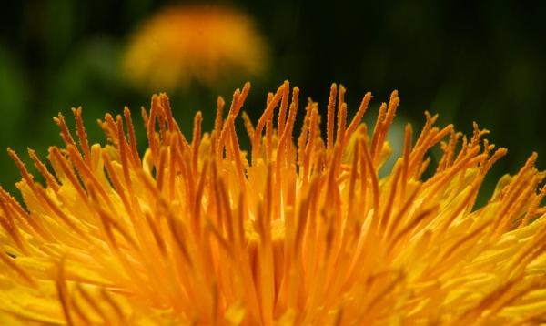 world dandelion by elousteve