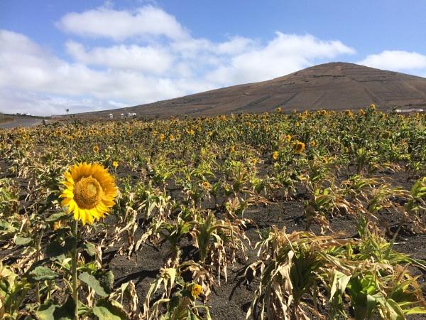 Sunflower in field. by cindylanzarote