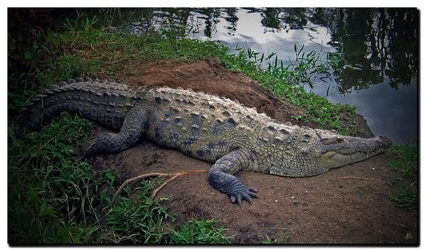 American Crocodile by IamDora