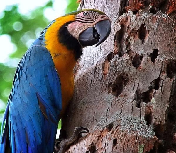 Blue Macaw by IamDora
