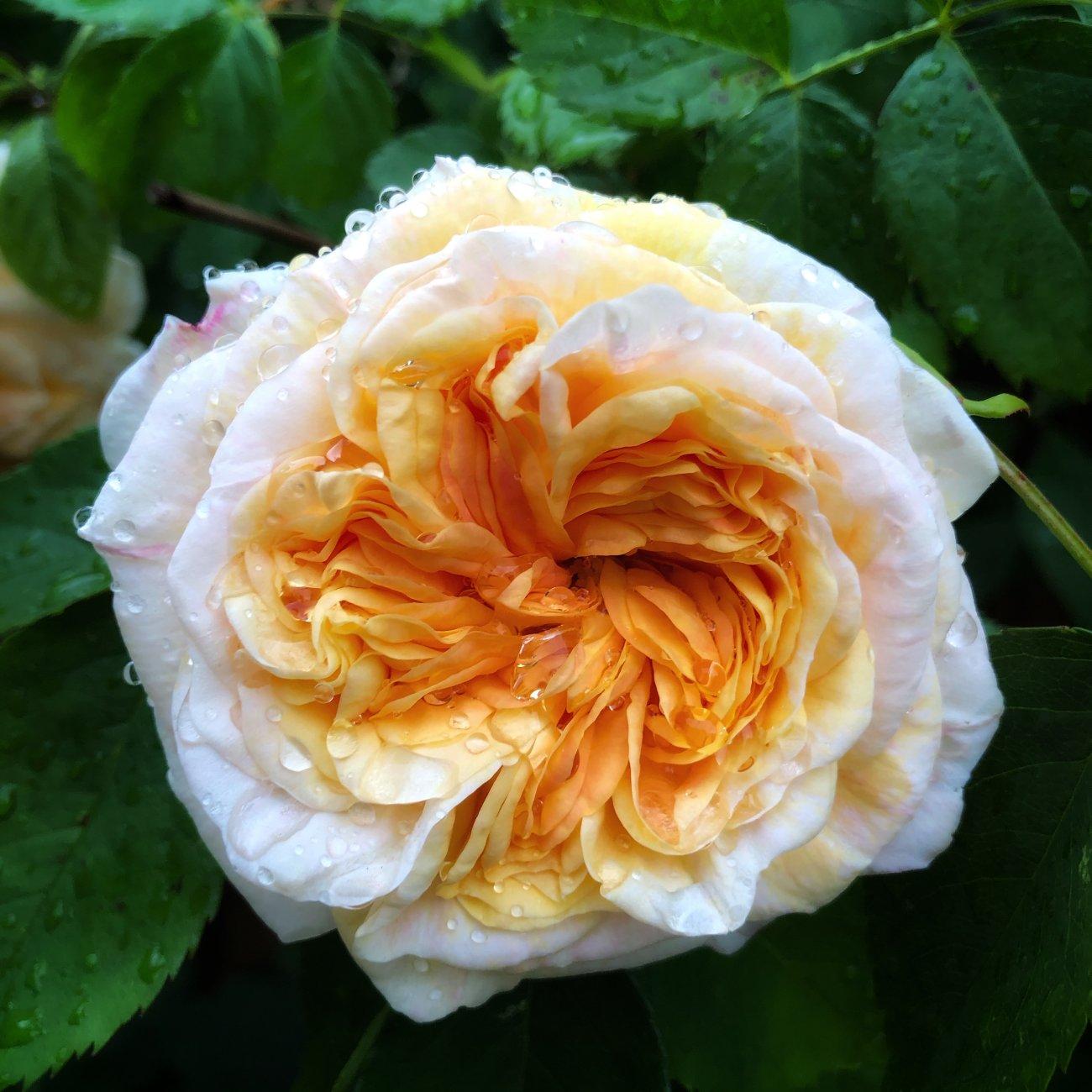 A rose in the rain