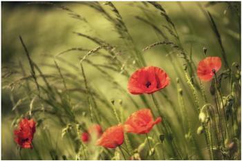 Bradlaugh poppies