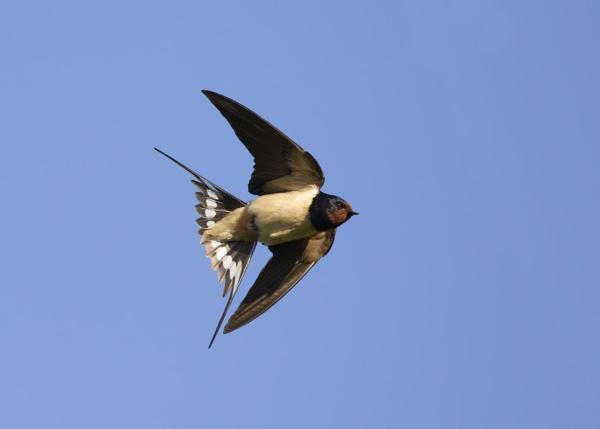 Barn Swallow by ashsteve
