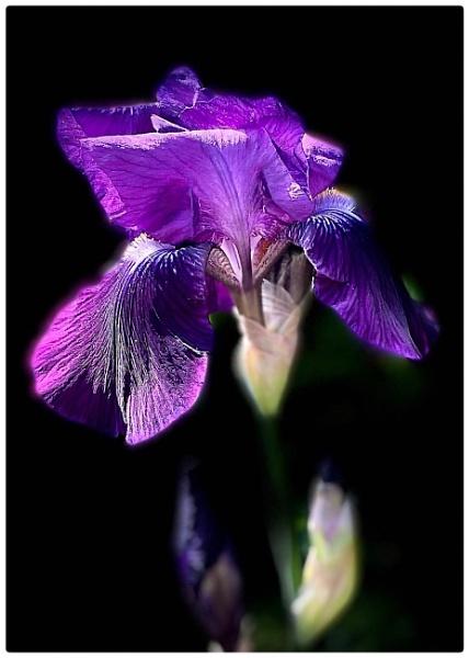 Iris by martin174