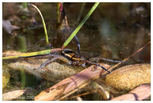 Great Raft Spider (Britains rarest spider) by Norfolkboy