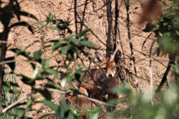 Mum Fox by mark90d