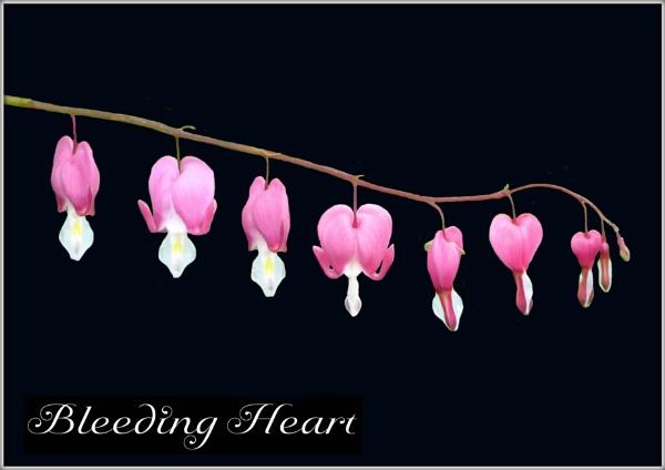 Bleeding Hearts (on black) by BarbaraR