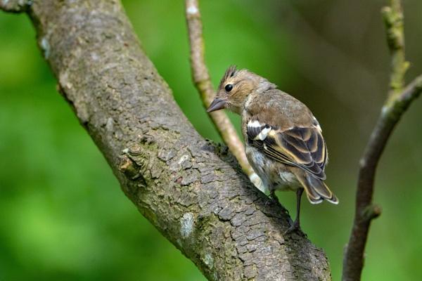 Female Chaffinch. by terra
