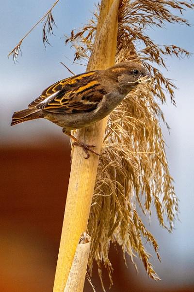 House Sparrow by terra