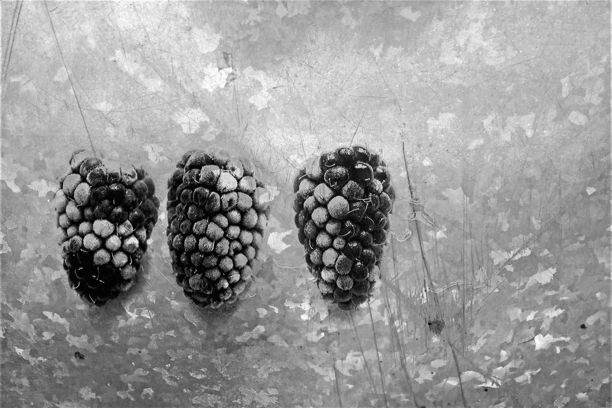Defrosting loganberries - mono
