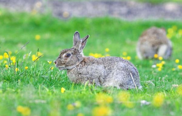 Wild Rabbit by kelvin7